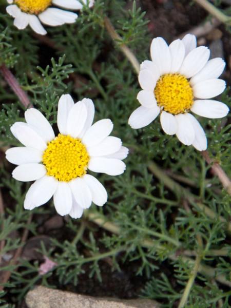 Anacyclus pyrethrum var. depressus, Ringblume, Marokko-Kamille, römischer Bertram