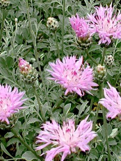 Centaurea bella, zierliche Silber-Flockenblume