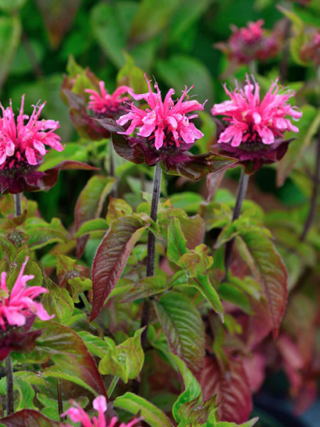 Monarda didyma 'Pink Lace', Indianernessel, Goldmelisse