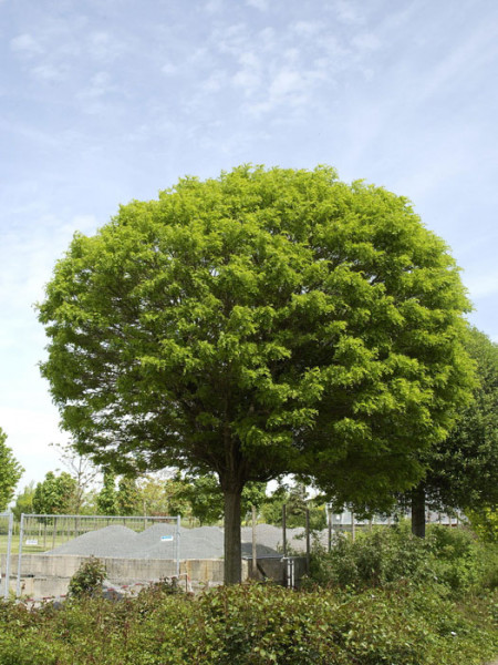 Robinia pseudo. 'Umbraculifera', Kugel-Robinie - XXL-Produkt