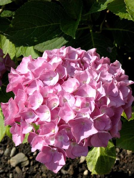 Bauernhortensie Bouquet Rose Blüte