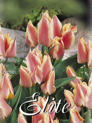 Greigii-Tulpe 'Quebec' (Art.Nr. 595772)