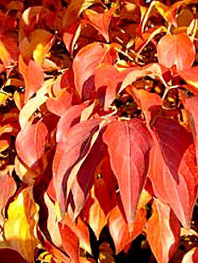 orange-rote Herbstfärbung