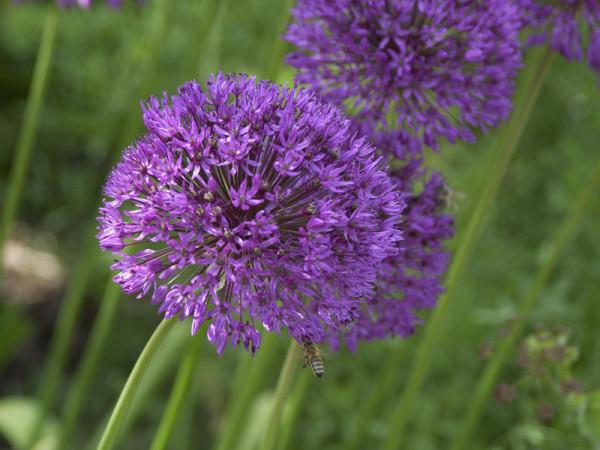 Allium senescens 'Millenium', Zierlauch