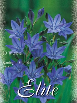 Frühlingsstern 'Königin Fabiola', Titeleia (Art.Nr. 597394)