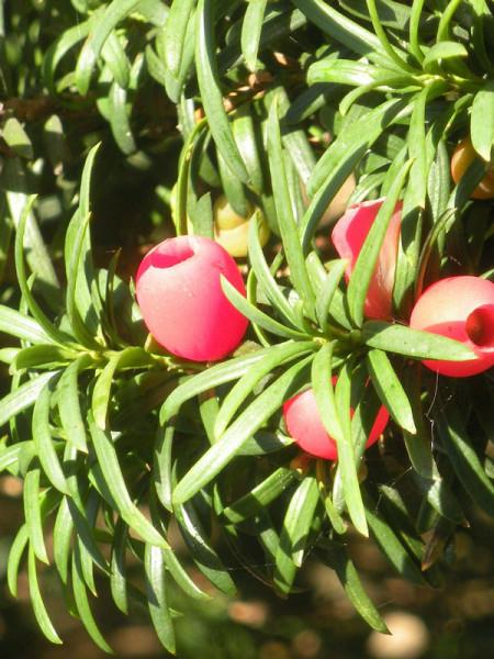 Eiben-Kugel, Taxus baccata