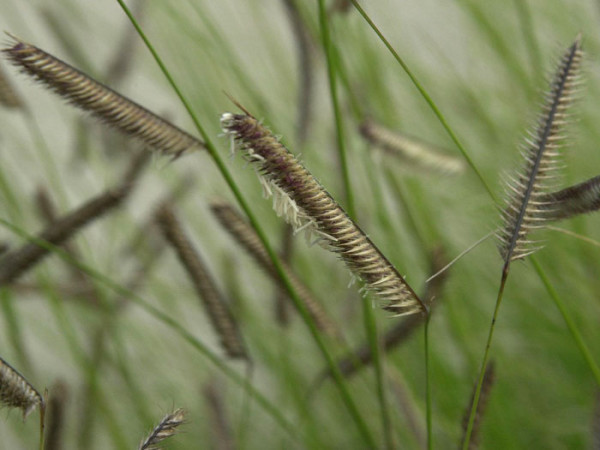 Bouteloua gracilis (M), Moskitogras, Haar-Schotengras