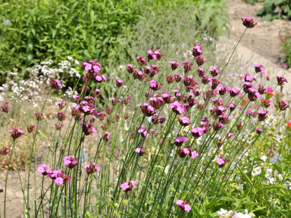 Dianthus carthusianorum, Heimische Karthäusernelke