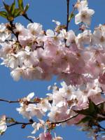 Prunus subhirtella 'Accolade', Frühe Zierkirsche