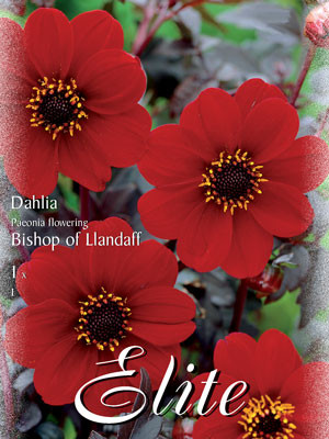 Duplex-Dahlie 'Bishop of Llandaff', Dahlia (Art.Nr. 520691)