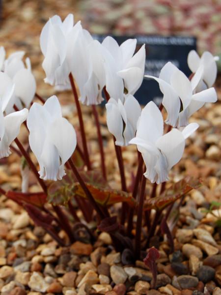 Cyclamen coum 'Album', (Garten-) Frühlingsalpenveilchen