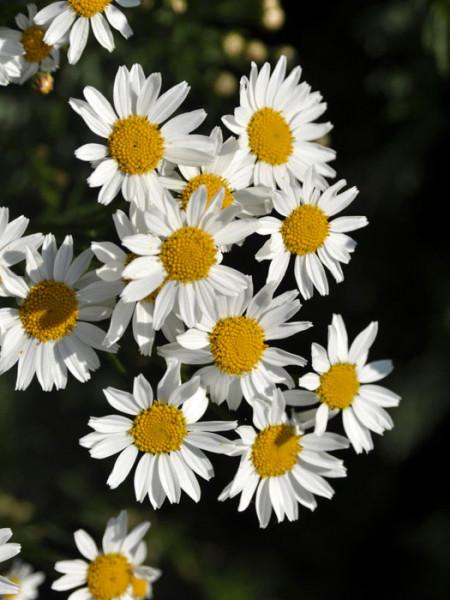 Tanacetum corymbosum, Strauß-Margerite, ebensträußige Wucherblume