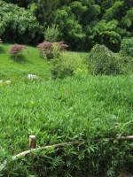 Pleioblastus chino 'Pumilus' (Sasa pumila), Zwergbambus