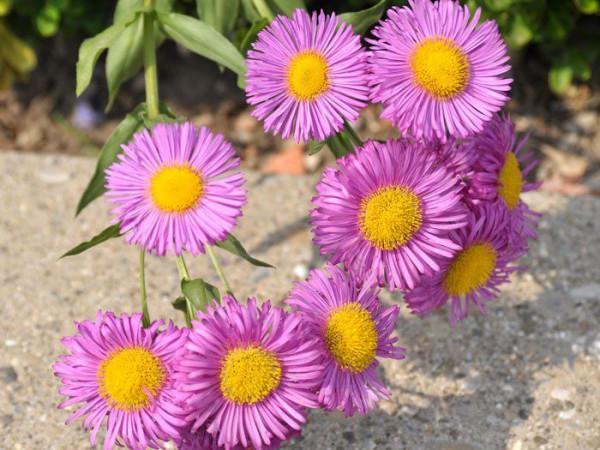 Erigeron-Hybride 'Rosa Juwel' (M), Feinstrahlaster