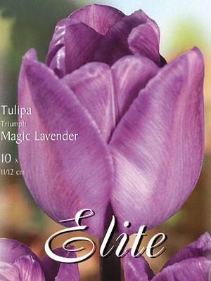 Triumph-Tulpe 'Magic Lavender' (Art.Nr. 595237)