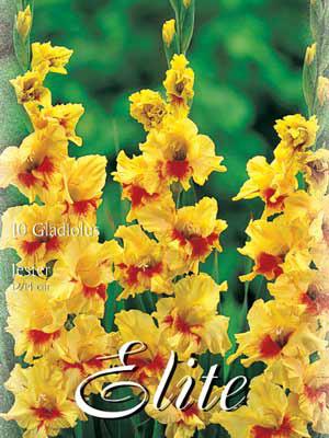 Großblumige Gladiole 'Jester', Gladiolus (Art.Nr. 521266)