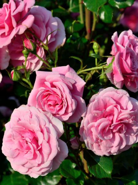 Blüten der Rose Dornröschenschloss Sababurg