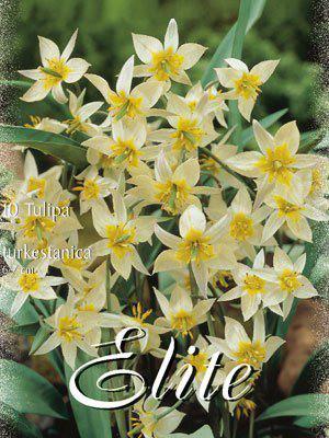 """Botanische Tulpen """"turkestanica""""(Art.Nr. 595690)"""