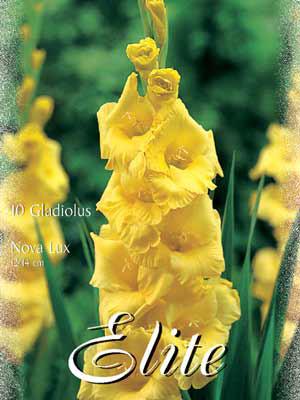 Großblumige Gladiole 'Nova Lux', Gladiolus (Art.Nr. 521286)