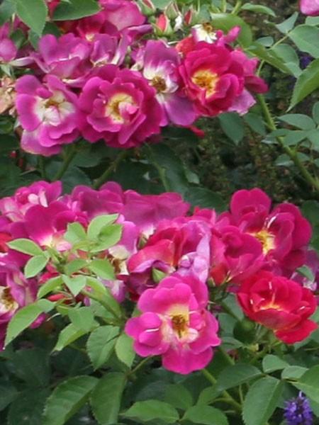 Blüten der Rose Weg der Sinne