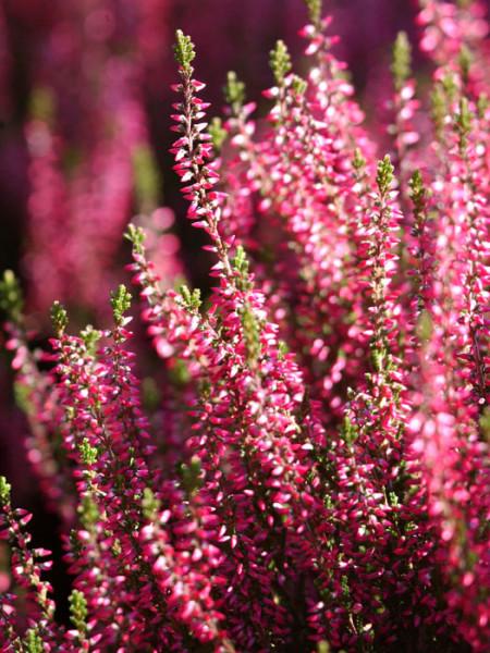 Die leuchtende Blüte der Knospenheide 'Aphrodite'