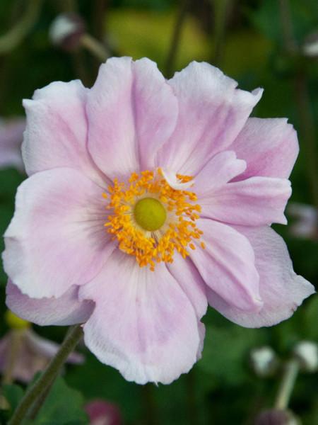 Einzelblüte der Herbstanemone 'Königin Charlotte'