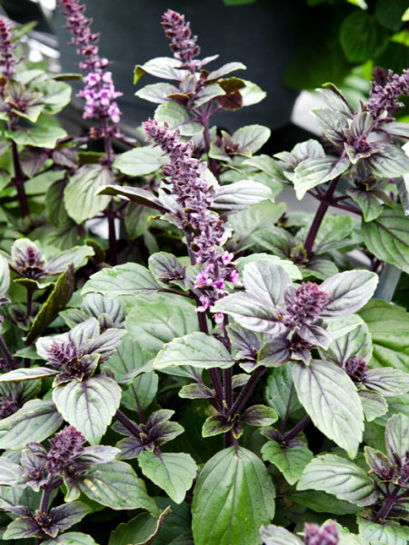 Strauch-Basilikum, Ocimum basilicum 'Magic Mountain'