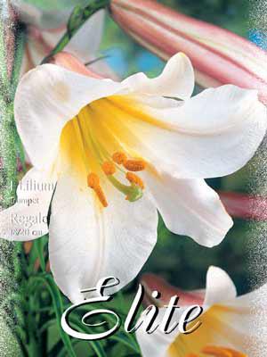Trompeten-Lilien-Hybride 'Regale', Lilium (Art.Nr. 521752)