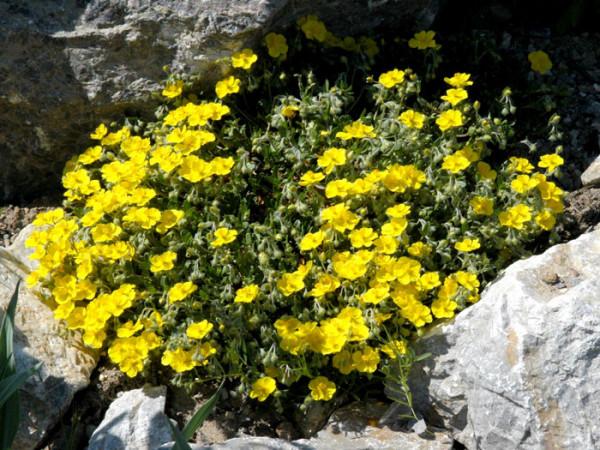Das Garten-Sonnenröschen 'Golden Queen' im Steingarten