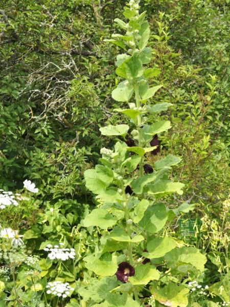 Alcea rosea 'Nigra' (M), Stockrose, schwarze Stockrose, Stockmalve