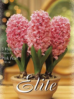 Hyazinthe 'Pink Pearl' (Art.Nr. 595028)