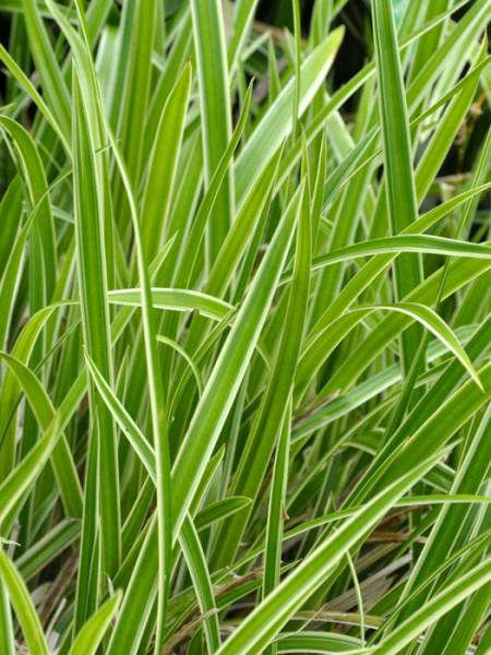 Luzula sylvatica 'Marginata', Gold- oder Gelbrand-Wald-Marbel, Wald-Simse