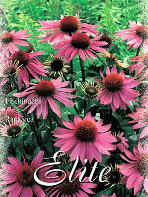 Scheinsonnenhut, Echinacea purpurea (Art.Nr. 521150)