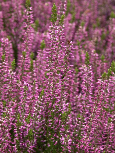 Das rosarote Gardengirl - Die Knospenheide 'Amethyst'