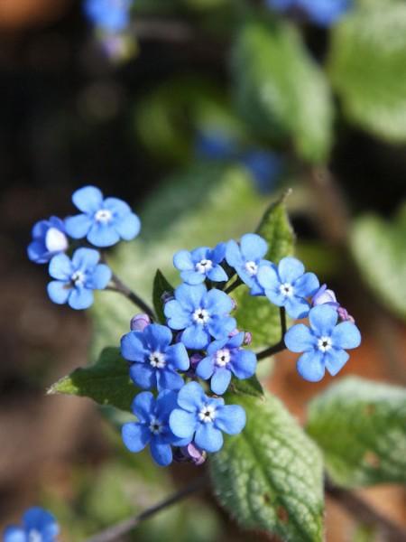 Brunnera macrophylla 'Jack Frost'®, silbriges Kaukasus-Vergissmeinnicht
