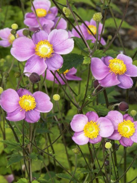 Blüte der Anemone 'Praecox'