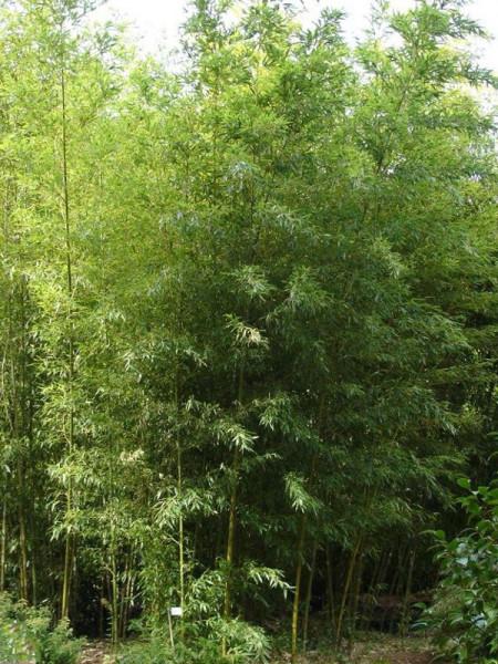 Phyllostachys nigra 'Boryana', Tigerstreifenbambus - XXL- Prododukt