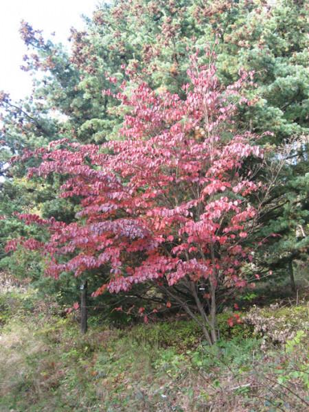 Herbstfärbung des Strauchs