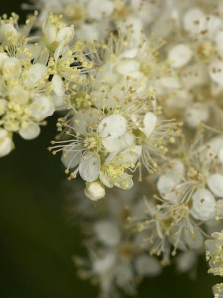 Filipendula ulmaria, Weiße Mädesüß, Spierstaude