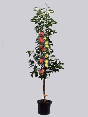 Duo Apfelbaum