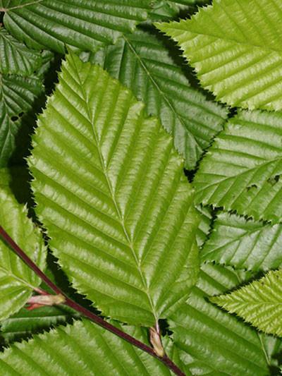 Carpinus betulus Blatt