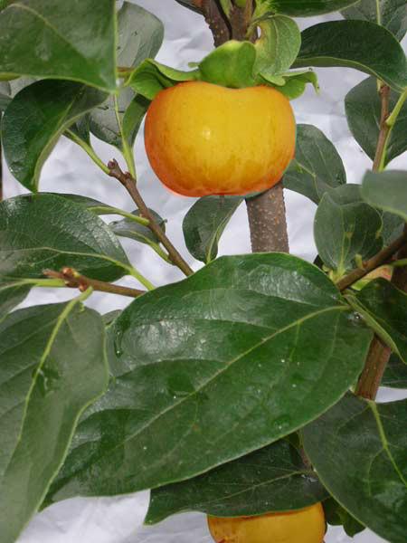 Kaki 'Ragno', Kaki-Baum auch Persimone oder Sharonfrucht