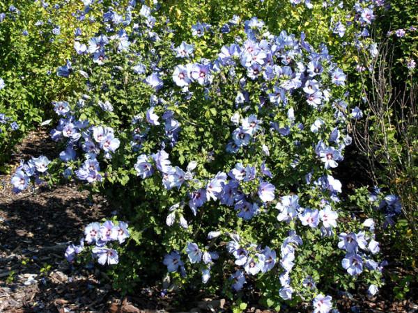 Garteneibisch Ardens in voller Blüte