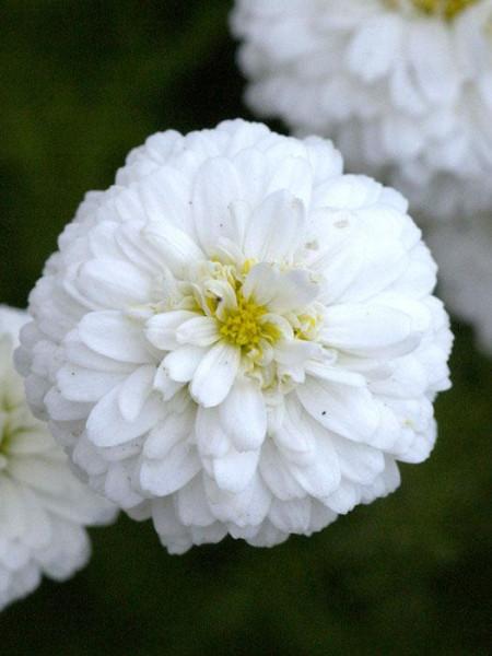 Gefüllte, weiße Blüte der römischen Scheinkamille 'Plena'