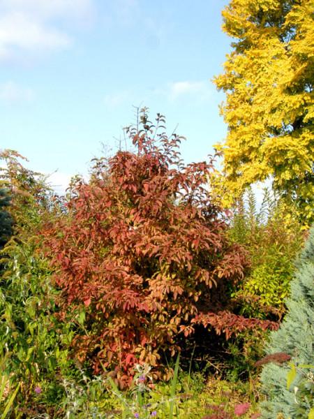 Winterschneeball Bodnantense Dawn Herbst