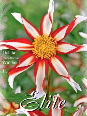 Orchideenblütige-Dahlie 'Windmill', Dahlia (Art.Nr. 520658)
