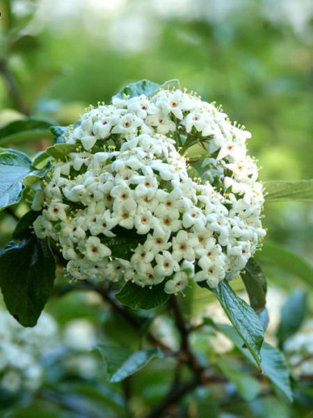 Duftschneeball Eskimo Blüte