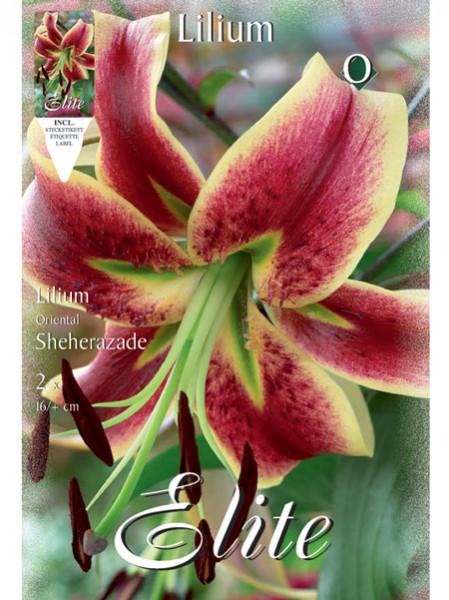 Orientalische Lilien-Hybride 'Sheherazade' (Art.Nr. 597145)