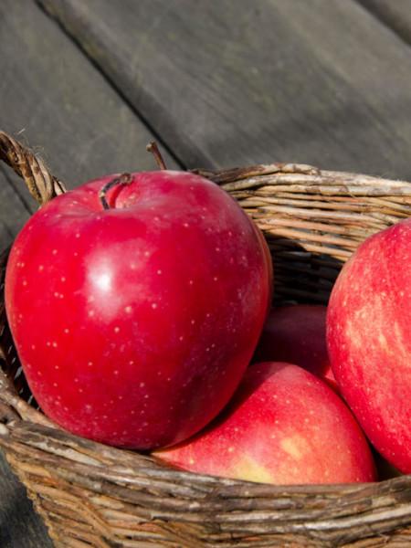Der Apfel 'Gloster'