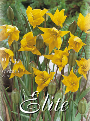 Botanische Tulpe 'Sylvestris' (Art.Nr. 595678)